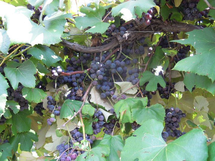 Michigan grape growers need to be able to ripe heavy crop of Concord grapes to stay competitive in a global juice market. Photo by: Mark Longstroth