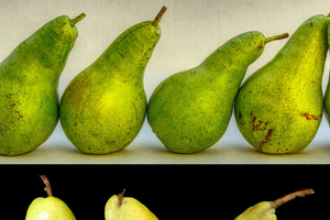 Physiologically immature (top) and mature (bottom) pears.