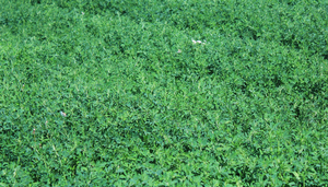 Is alfalfa autotoxicity the cause of your poor alfalfa stand?
