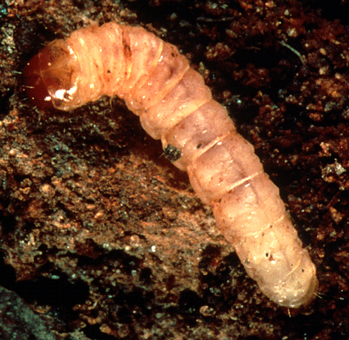 Larva is creamy-white to pink with a hardened, reddish head.