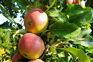 Southwest Michigan fruit update – Aug. 25, 2020