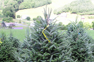 Real Christmas trees: Which one is right for you?