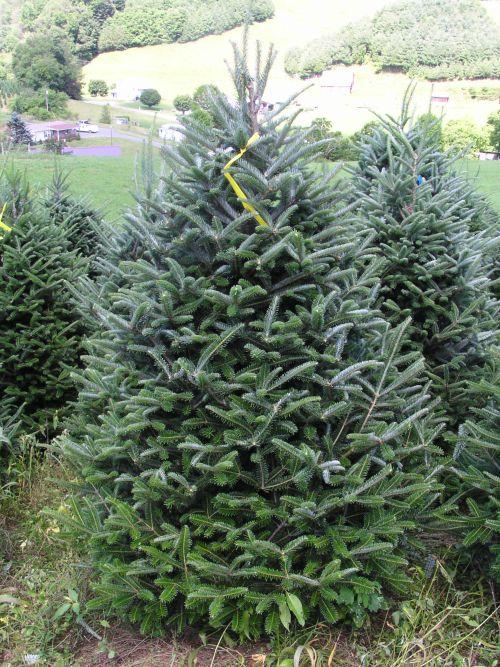 Fraser Fir Christmas Trees.Choosing The Right Christmas Tree Christmas Trees