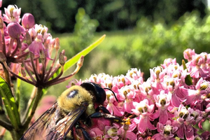 Native bees of Michigan: How to identify and support our native pollinators