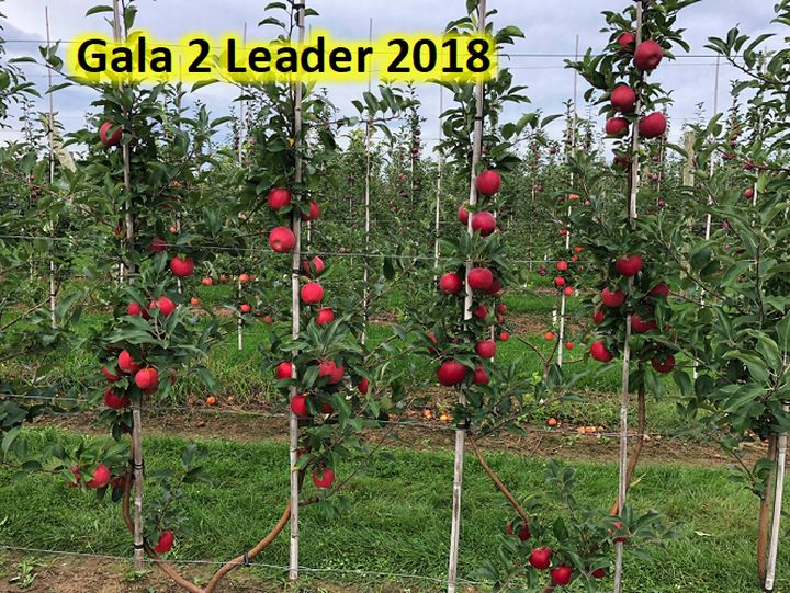 Two-leader Gala apple trees
