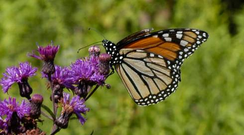Monarch butterfly on an ironweed plant