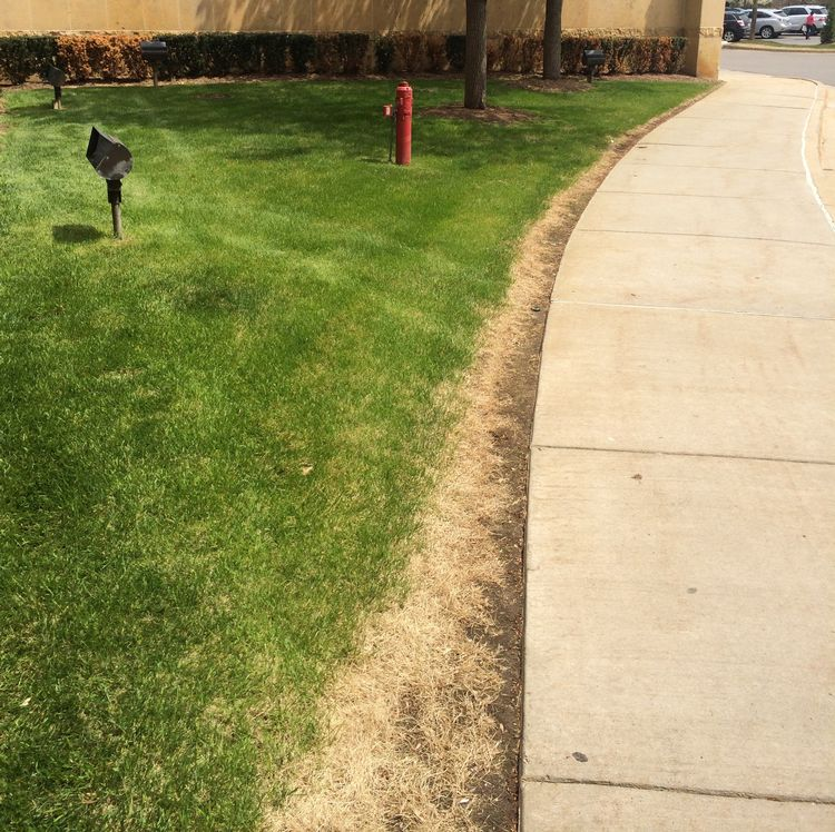 Turfgrass damaged from de-icing salts used during winter may need reseeding. Photo credit: Kevin Frank, MSU