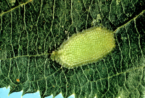 The green eggs are laid in masses on upper leaf surfaces.
