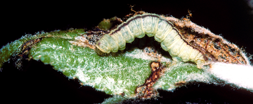 The larva is a green inchworm. Late instars have a dark, reddish-brown dorsal midline.
