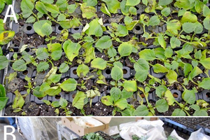 Photo 1A and B. Lower leaf yellowing and poor rooting in dahlia can indicate ethylene and extreme temperature stress during shipping. Dahlia is a first priority species for sticking and benefits from rooting hormones.