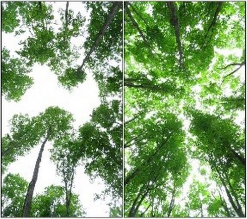 a picture comparing a canopy of trees