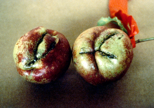 Flowers and fruit may be distorted and discolored from feeding.