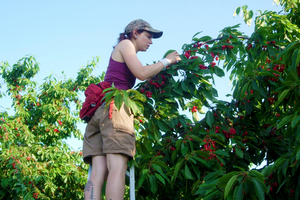 Shayna Wieferich, a field technician, counting sweet cherries. Photo credit: George Linz, 2013.