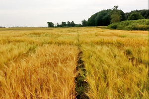 Results are in for the 2019 Michigan spring malting barley trial