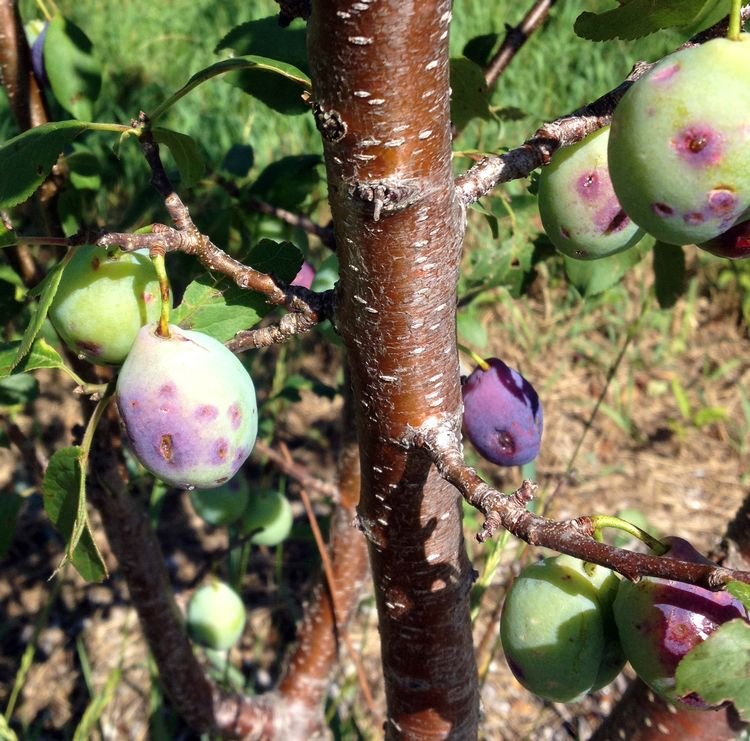 Hail damage to plums. Photo credit: Bill Shane, MSU Extension