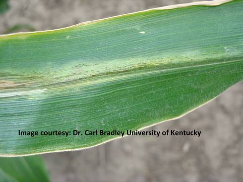 Early Goss's wilt leaf lesion. All photos by Carl Bradley, University of Kentucky