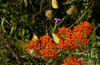 Butterflies on a butterfly weed