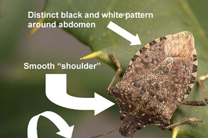 Michigan brown marmorated stink bug report for July 28, 2015