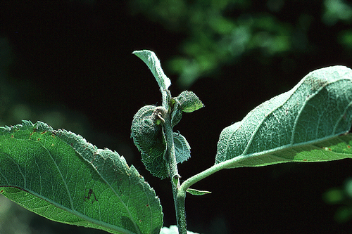 Leaves of Mutsu apples may develop a mid-vein necrosis.
