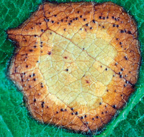 On the leaves, light brown, roughly circular sports appear in the spring and summer. These can be distinguished from herbicide damage by a ring of small black fruiting bodies, visible with the naked eye or a hand lens.