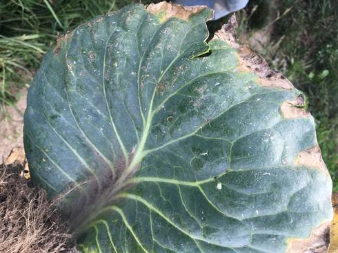 Cabbage with the characteristic V-shaped yellowing, with some areas taking on a dried, charred appearance. All photos: Marissa Schuh, MSU Extension.