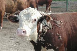 Three common summer cattle diseases