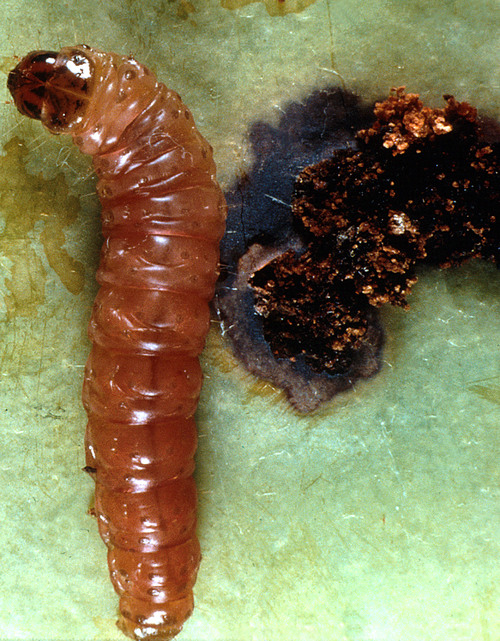 The pinkish larva has a black head and brown thoracic shield.
