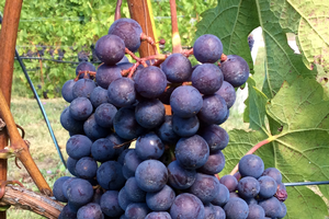 Cabernet Franc grape clusters