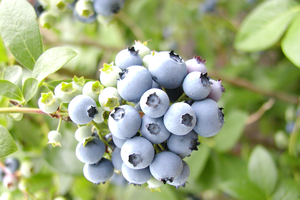 Meeting for blueberry growers will update on gall wasp and replanting issues
