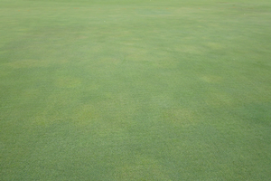 Early symptoms of Pythium root dysfunction