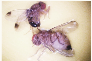 Female and male spotted wing Drosophila.