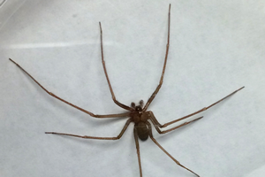 Update on brown recluse spiders in Michigan