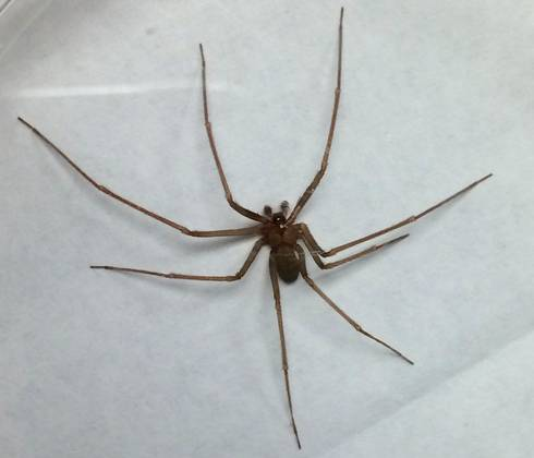 update on brown recluse spiders in michigan msu extension