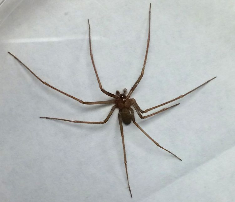 Brown recluse spider found in Ann Arbor, Michigan, on Aug. 19, 2016. An adult body is about 0.375 inch, but with its legs spread it is about the size of a quarter. Image courtesy of Alexander Migda, UofM.