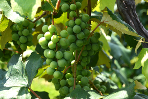 Michigan State University hosts viticulture virtual field days