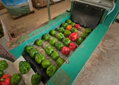 Peppers on a conveyor belt