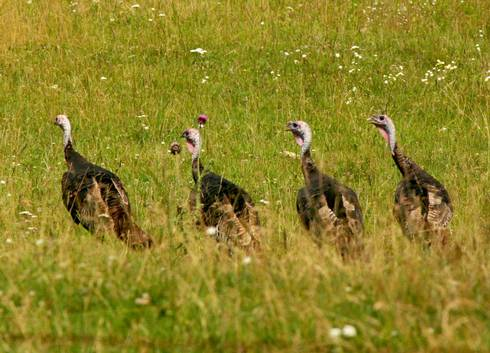 A USFWS depredation permit is required for lethal control of wild turkeys. Photo credit: Paul Bolstad, University of Minnesota, Bugwood.org
