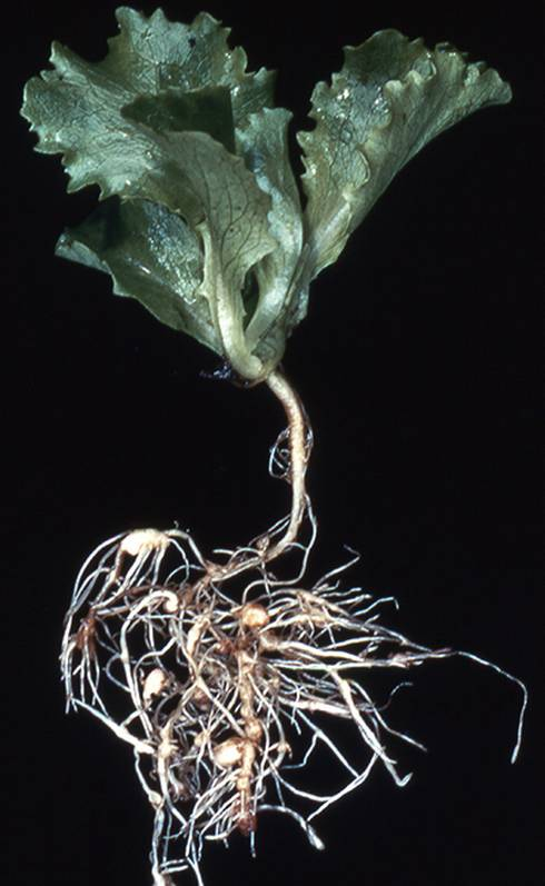 Lettuce roots showing galling by northern root knot nematode. Sampling now can help you detect problem areas before planting them to susceptible vegetables. Photo credit: DAFF archive, Bugwood.org