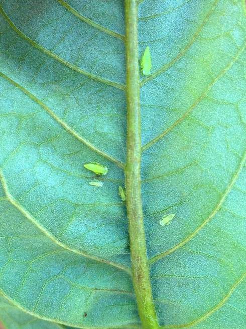Immature potato leafhoppers along a midvein on the underside of a chestnut leaf. Photo by Mario Mandujano, MSU.