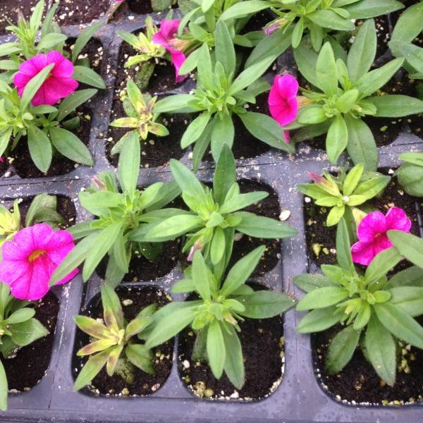 Six steps to identifying nutrient deficiencies in ornamental