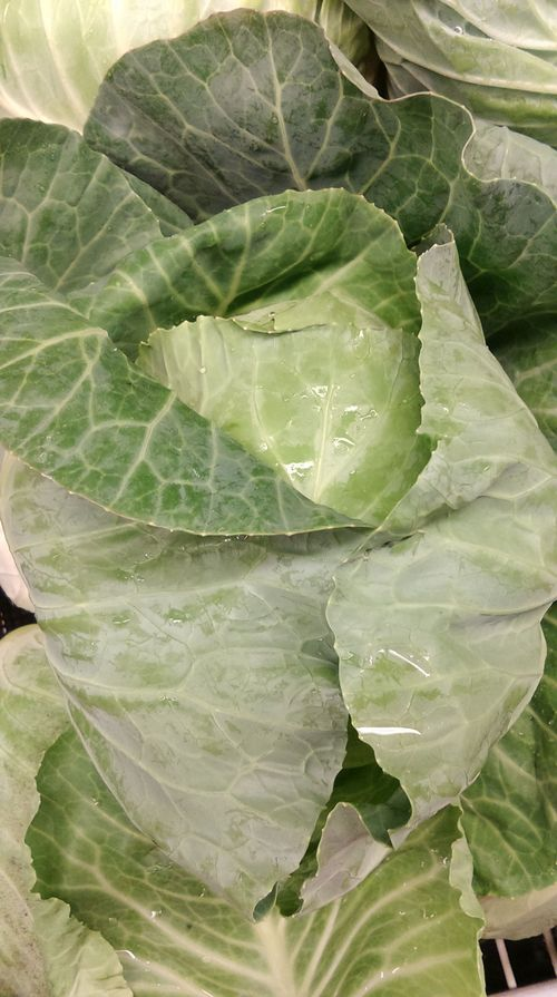 Cabbage And Chinese Cabbage Storage And Preserving Tips Msu Extension