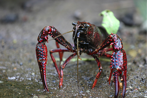 The claws of the invasive red swamp crayfish have bright red spiky bumps. Photo Credit: Mike MurphyPhoto Credit: Mike Murphy