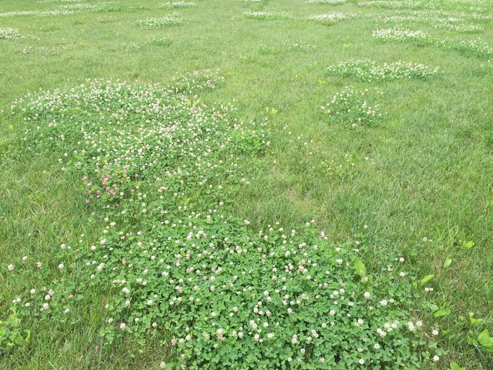 White clover growing in low maintenance turf. Photo by Kevin Frank, MSU