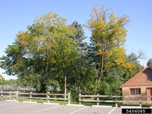 Look out for unusual wilting or death of otherwise healthy black walnut trees. Photo dredit: Ned Tisserat, Colorado State University