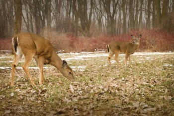 White-tailed deer. Photo credit: Scott Bauer, USDA Agricultural Research Service, Bugwood.org