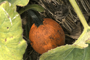 Southeast Michigan vegetable update – Aug. 22, 2018