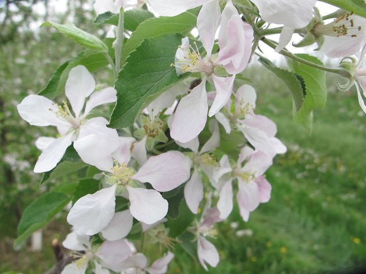 Apples in bloom