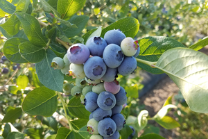 Southwest Michigan fruit update – June 30, 2020