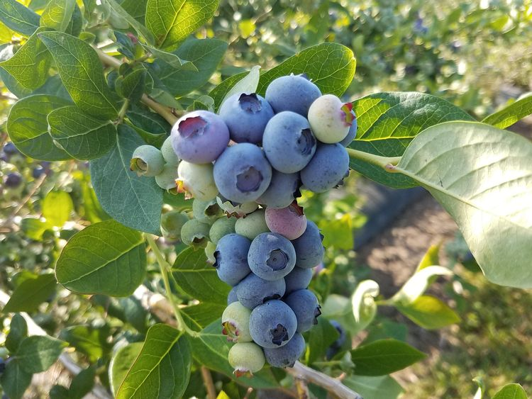 Duke blueberries