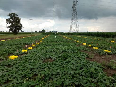cucumber field